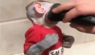 वायरल वीडियोः इलेक्ट्रिक शेवर से दाढ़ी बनवाता है यह स्टाइलिश बंदर