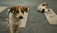 चंडीगढ़: मोहाली में इंसानियत शर्मसार, आपसी झगड़े में 31 कुत्तों पर फेंका तेजाब