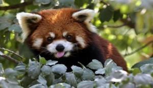 Endangered Red Panda rescued by SSB along Tezpur-Tawang Highway