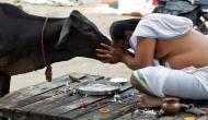 Make cow the national animal: Rajasthan HC to Centre