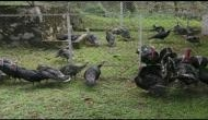 Poultry farming witnesses massive boom in Meghalaya