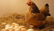 अजब है पर सच है: मुर्गी ने किया कमाल, 24 घंटे में दिए 36 अंडे