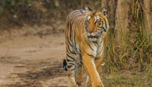 Watch: Tigress chases tourist vehicle in Maharashtra, Video goes viral