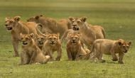 शेरों के झुंड के बीच महिला ने दिया बच्चे को जन्म