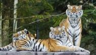 World Tiger Day: Poaching continues to pose severe threat to tigers in India