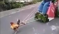भूल जाइए हाथी-घोड़ागाड़ी, हंसते-हंसते होंगे लोटपोट जब देखेंगे मुर्गा-गाड़ी