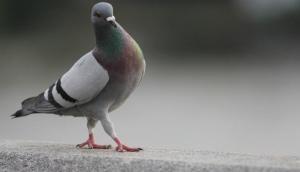 बिना टिकट बस में सफर करता पकड़ा गया कबूतर, देना पड़ा जुर्माना
