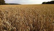 This gene helps hybrid breeding in wheat
