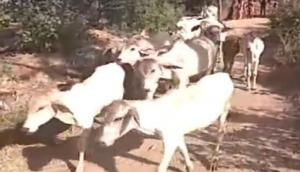 Maharashtra: Several cows electrocuted,BJP leader threatens to attack electricity board's office