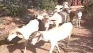 Alwar: 51 cows 'snatched' by police from Muslim family