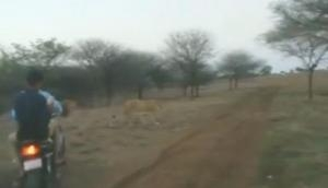 Video of bikers chasing lions in Gir goes viral, three arrested