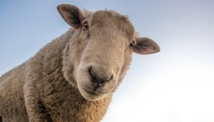 Sheep can recognise celebrities from photographs, says amusing study with serious potential