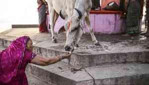 Bovine bonanza: Mamata govt to distribute cows among rural households