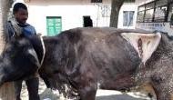 गाय के पेट से निकली 80 किलो पॉलीथीन, डॉक्टर भी हैरान