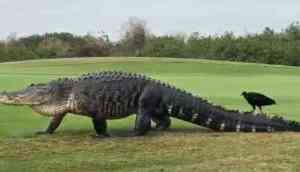 The 15-foot monster alligator 'Chubbs' visits Florida golf course again, and is bigger than ever