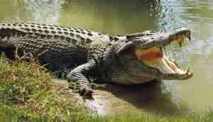 Brave Show: 12-year-old boy saves uncle from crocodile's clutches
