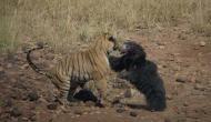 जब अपने बच्चे को बचाने के लिए शेर से भिड़ गया भालू , वीडियो वायरल