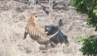 भालू ने अपने बच्चे को बचाने के लिए शेर से लिया पंगा, वीडियो में देखें फिर हुआ क्या?