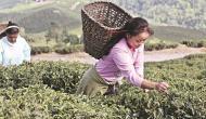 क्यों दार्जिलिंग की चाय के लिए तरसने लगे हैं दुनियाभर के बाजार?