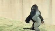 चिड़िया घर में अचानक इंसानों की तरह चलने लगा ये गोरिल्ला, VIDEO वायरल
