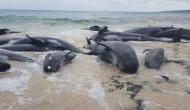 न्यूजीलैंड में दिखाई दिया बेहद डरावना नजारा, समुद्र किनारे 120 से अधिक व्हेल नजर आई मरी हुई