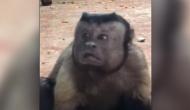 VIDEO: इंसानी शक्ल वाले बंदर ने मचाई धूम, देखकर खुश हो जाएंगे आप