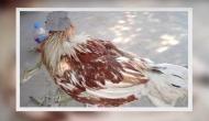 अविश्वसनीयः धड़ से सिर अलग होने के बावजूद जिंदा है मुर्गा
