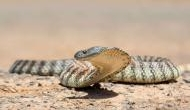 Snake-up-the-jeans video: A man removes a tiger snake from his pant leg