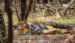 NTCA and Rajasthan Forest Department at loggerheads over tiger Mirza's relocation