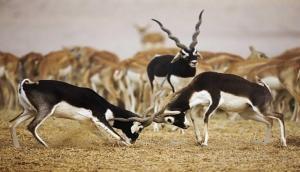 काले हिरण में क्या है ऐसा खास, जिसने सलमान को सलाखों के पीछे भेज दिया