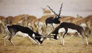 सलमान खान की वजह से राजस्थान में काले हिरण की जनसंख्या में भारी बढ़ोतरी