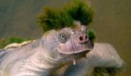 Shocking! Australian Mary River turtle among the last of the Mohicans reptile faces extinction