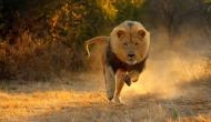 VIDEO: जब पार्क में घूम रहे शख्स का शेर से हुआ सामना...