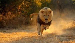 जान बचाने के लिए शेर से भिड़ गया ये शख्स, किया कुछ ऐसा कि शेर हो गया ढेर