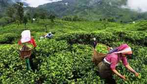 Darjeeling tea faces climate risk