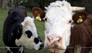 इस खतरनाक बीमारी से बचने के लिए न्यूजीलैंड सरकार ने 1,26,000 गायों को मारने का दिया आदेश