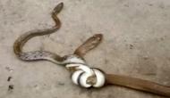 Video: 3 फुट के सांप ने कर दिया अपने से बड़े सांप पर हमला, फिर हुआ ऐसा...