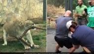 VIDEO: जब खूंखार शेर और तीन धाकड़ रेसलरों के बीच हुआ सांस रोक देने वाला दंगल...