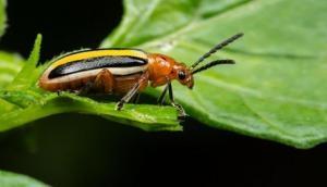 फसलों को बचाने के लिए आया 'सेक्सी' पौधा, संपर्क में आते ही कीटों का करेगा खात्मा