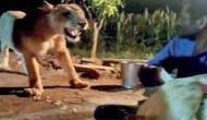 Video: शेरनी को दिया मुर्गे का लालच, करीब बुलाकर दो व्यक्तियों ने किया ये काम
