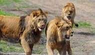 Watch video: Pride of Lions killed and ate rhino poachers on South African game reserve