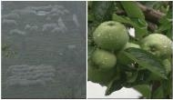 Farmers in Himachal using anti-hail nets to protect apple groves
