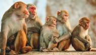 बंदरों ने शहर में मचाया आतंक, पेड़ से बम बरसाकर कई लोगों को किया घायल