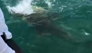 Video: तीन फीट की शार्क को निगल गई भीमकाय मछली, देखकर दंग रह गए मछुआरे