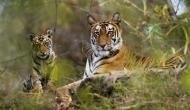 International Tiger Day 2018 : जंगलों में धीरे-धीरे बढ़ रही है बाघों की चहल कदमी