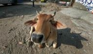 Bihar: Police complaint filed against 'Ox' in Purnia; know why!