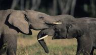हाथियों के झुड्ड में गिर गई चार साल की बच्ची, 'चमत्कारी' हाथी ने ऐसे बचाई जान