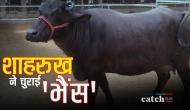शाहरुख खान ने चुराई भैंस तो गांव वालों ने पीट-पीट कर...