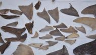 8000 kg of shark fins seized from Mumbai, Gujarat