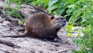 High Alert! After Kerala flood, now rat fever took at least 12 lives in the state